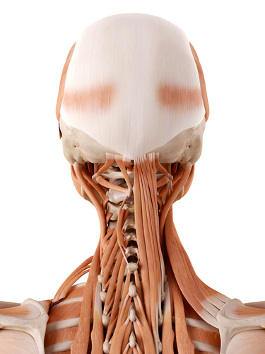 Neck anatomy simply guide to your neck ccuart Image collections